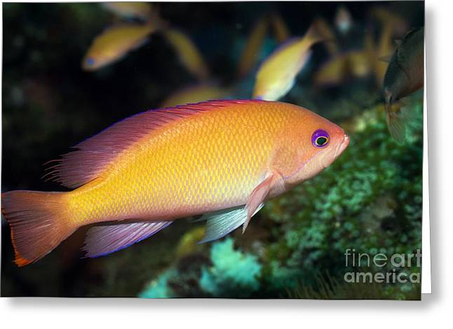 Brightly Colored Fish Greeting Cards - Lyretail Anthias Greeting Card by Georgette Douwma