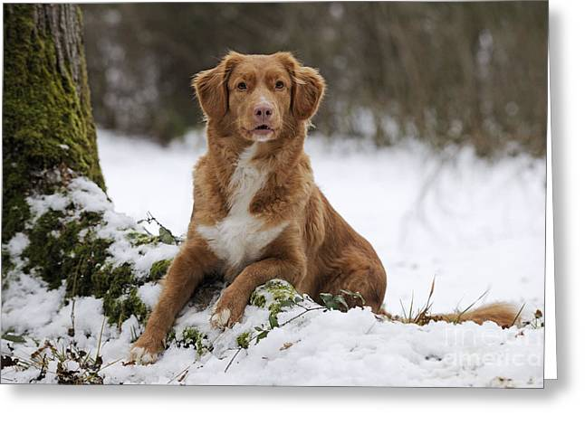 Dog In Snow Greeting Cards - Nova Scotia Duck Tolling Retriever Greeting Card by John Daniels