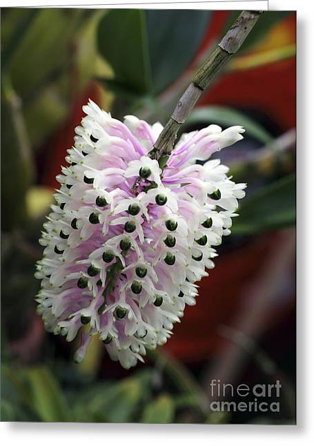 Dendrobium Greeting Cards - Orchid Flowers Greeting Card by Dirk Wiersma