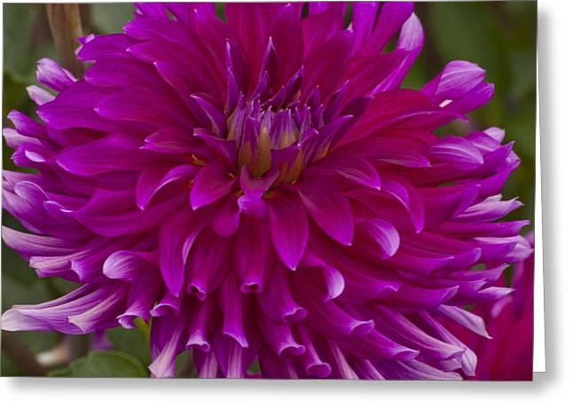 Oregon Greeting Cards - Purple Dahlia Greeting Card by Mandy Judson