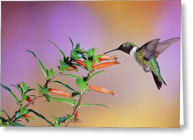 Ruby-throated Hummingbird (archilochus Greeting Card by Richard and Susan Day