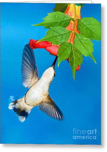 Hovering Greeting Cards - Ruby Throated Hummingbird Female Greeting Card by Millard H. Sharp