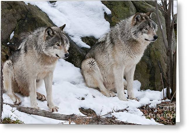 Timber Wolf Pics Greeting Cards - Timber Wolves Greeting Card by Wolves Only