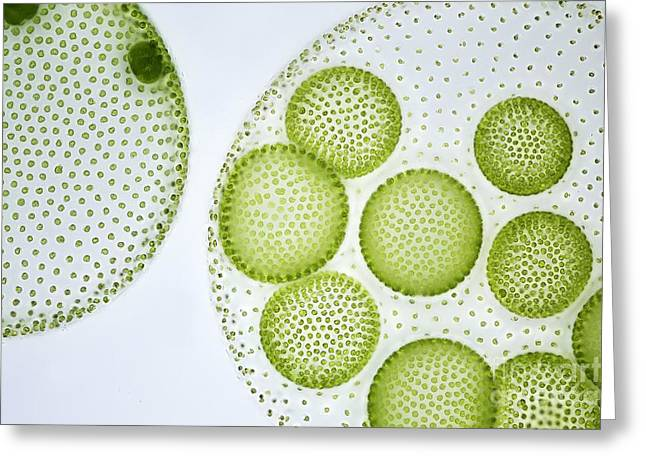 Algal Greeting Cards - Volvox Colony, Light Micrograph Greeting Card by Frank Fox