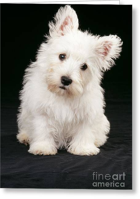 Westie Puppies Greeting Cards - West Highland White Terrier Greeting Card by John Daniels