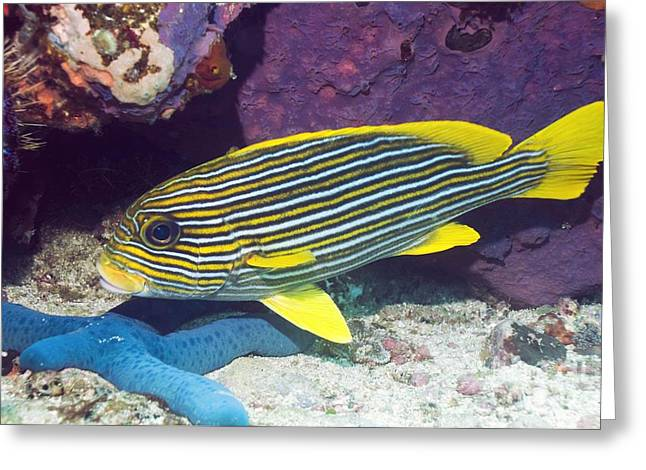 Star Fish Greeting Cards - Yellow-ribbon Sweetlips Greeting Card by Georgette Douwma