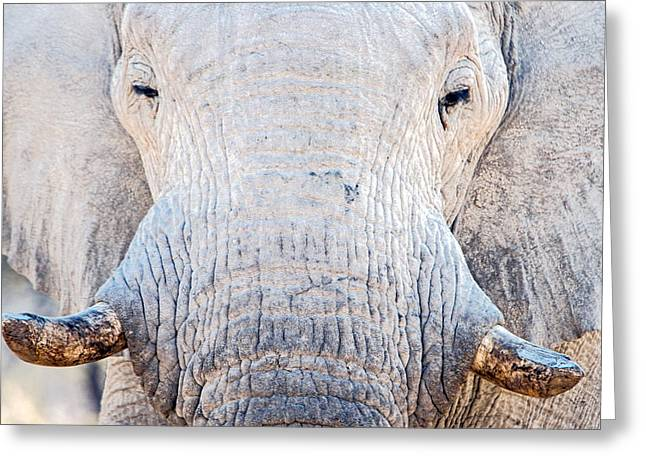 Animal Body Part Greeting Cards - African Elephant Loxodonta Africana Greeting Card by Panoramic Images