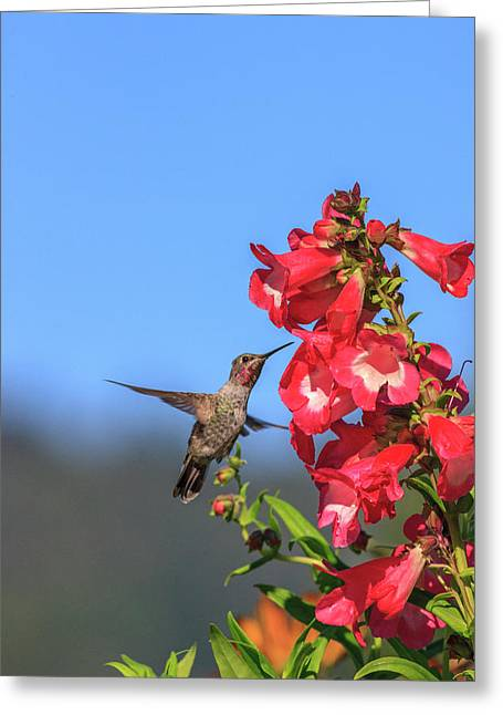 Anna's Hummingbird Greeting Card by Tom Norring