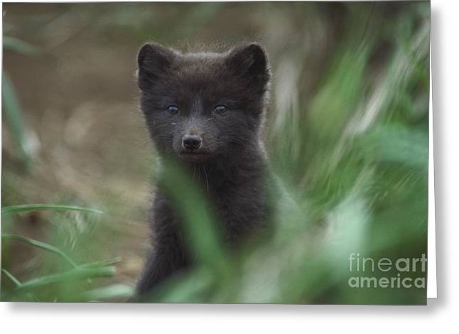 St. George Island Greeting Cards - Arctic Fox Greeting Card by Art Wolfe