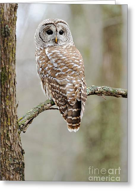 Chordata Greeting Cards - Barred Owl Greeting Card by Scott Linstead