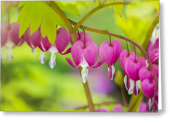 Bleeding Hearts Greeting Cards - Bleeding Heart - VanDusen Botanical Garden Greeting Card by May L