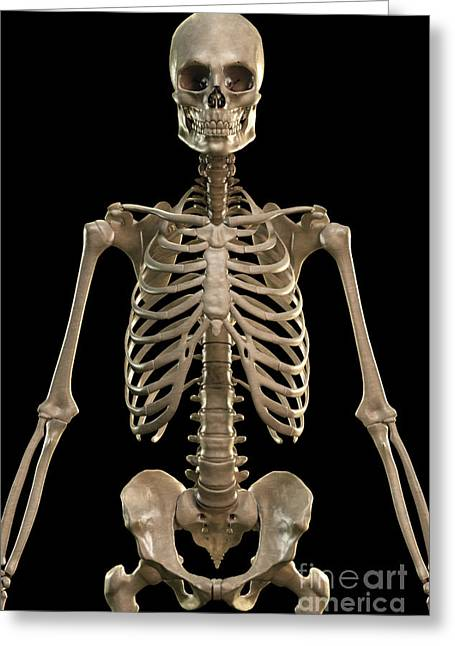 Sacral Greeting Cards - Bones Of The Upper Body Greeting Card by Science Picture Co