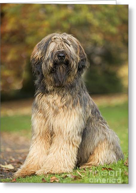 Hairy Dog Greeting Cards - Briard Dog Greeting Card by Jean-Michel Labat