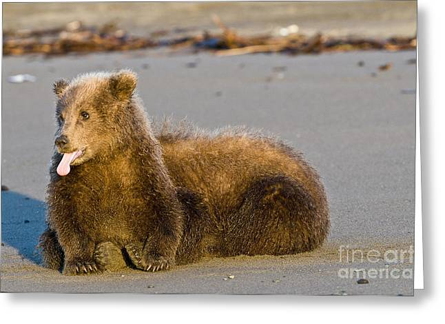 Sticking Out Tongue Greeting Cards - Brown Bear Cubs Greeting Card by William H. Mullins