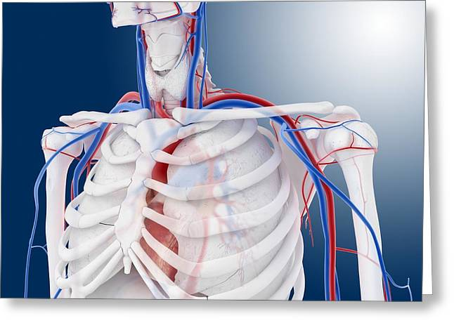 Cava Greeting Cards - Cardiovascular system, artwork Greeting Card by Science Photo Library