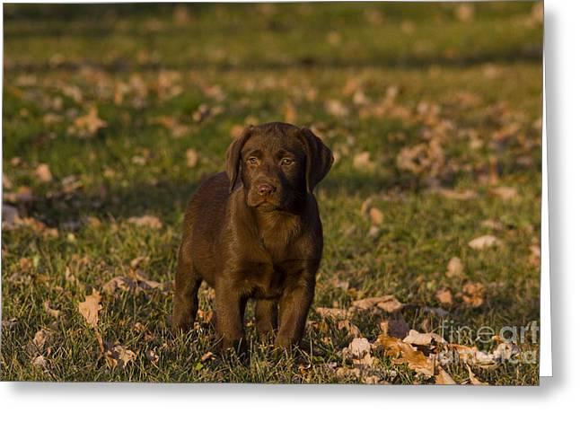 Chocolate Lab Greeting Cards - Chocolate Labrador Retriever Greeting Card by Linda Freshwaters Arndt