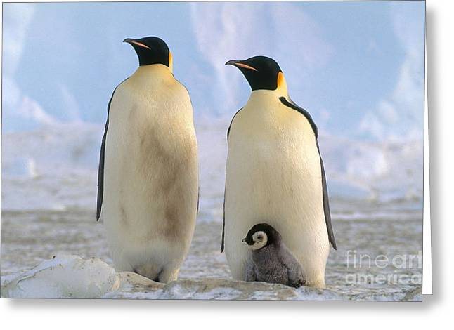 Three Chicks Greeting Cards - Emperor Penguins Greeting Card by Art Wolfe