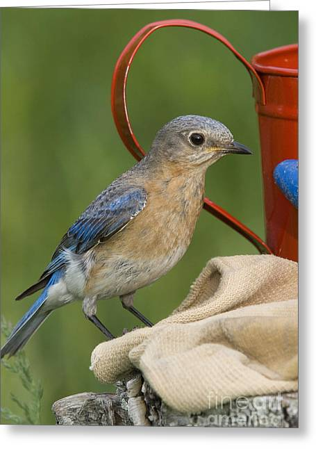 Passeriformes Greeting Cards - Female Eastern Bluebird Greeting Card by Linda Freshwaters Arndt