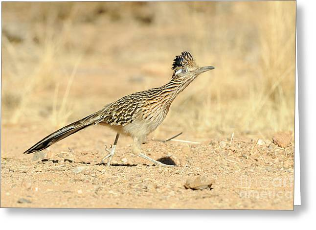 Greater Roadrunner Greeting Card by Scott Linstead