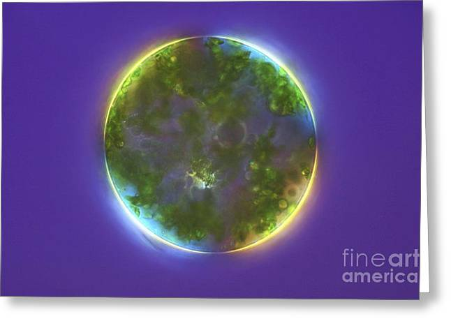 Algal Greeting Cards - Green Alga, Light Micrograph Greeting Card by Frank Fox