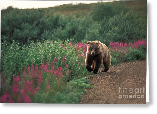 Ursidae Greeting Cards - Grizzly Bear Greeting Card by Ron Sanford