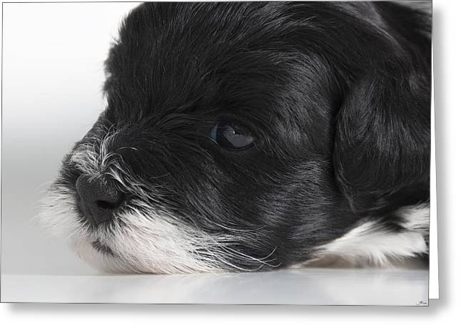 Cute Havanese Greeting Cards - Havanese Puppy Greeting Card by Stonington Bay