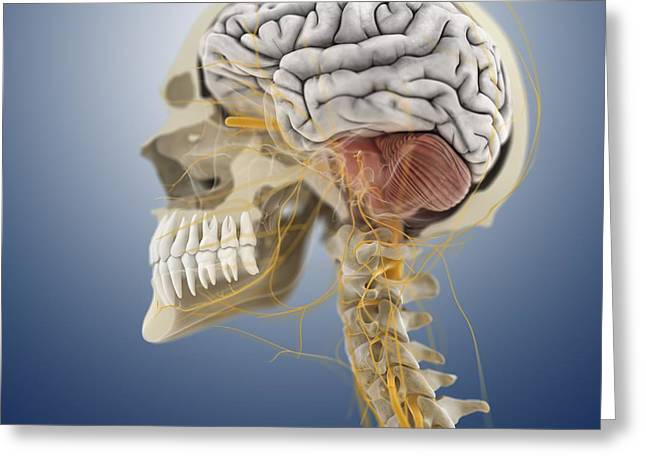 Maxilla Greeting Cards - Head and neck anatomy, artwork Greeting Card by Science Photo Library