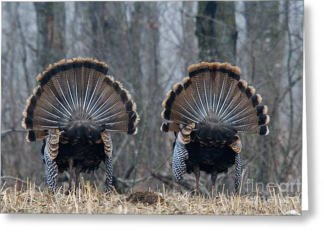 Juvenile Turkey Greeting Cards - Jake Eastern Wild Turkeys Greeting Card by Linda Freshwaters Arndt