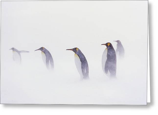 King Penguin (aptenodytes Patagonica Greeting Card by Martin Zwick
