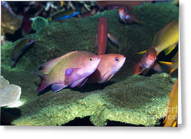 Lyretail Anthias Greeting Card by Georgette Douwma