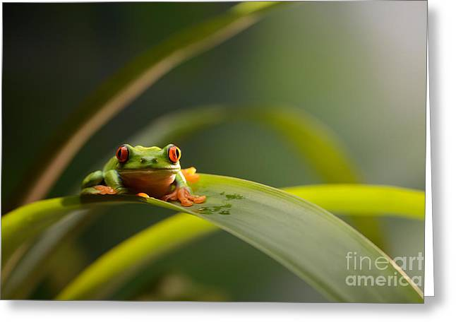 Charismatic Greeting Cards - Red Eyed Tree Frog Greeting Card by Scott Linstead