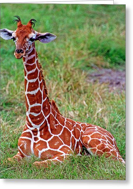 Jacksonville Greeting Cards - Reticulated Giraffe Greeting Card by Millard H. Sharp