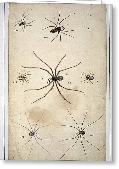 1700s Greeting Cards - Spiders, 18th century artwork Greeting Card by Science Photo Library