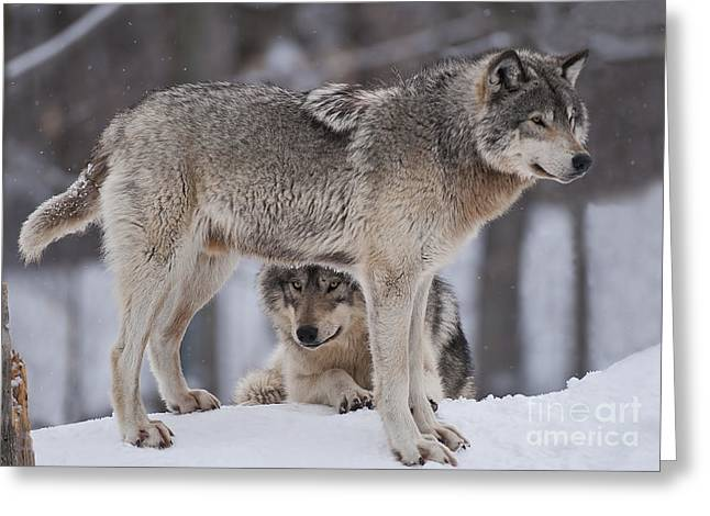 Timber Wolves  Greeting Card by Wolves Only
