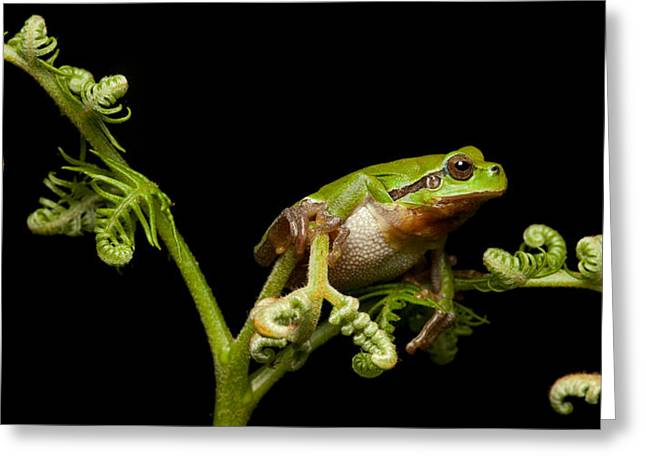 Hylas Greeting Cards - Tree Frog Greeting Card by Dirk Ercken