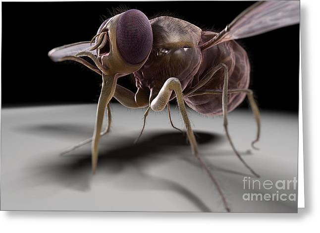 Insect Problem Greeting Cards - Tsetse Fly Greeting Card by Science Picture Co