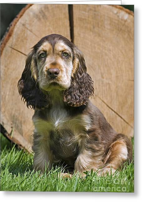 Spaniel Greeting Cards - 110801p098 Greeting Card by Arterra Picture Library