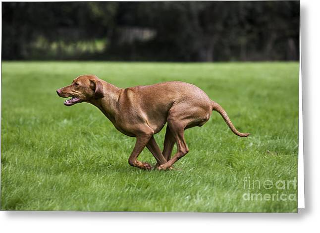 Magyar Vizsla Greeting Cards - 111025p077 Greeting Card by Arterra Picture Library