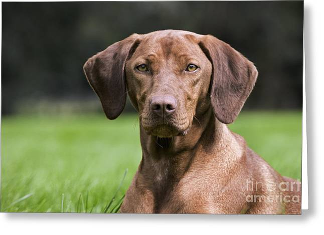 Magyar Vizsla Greeting Cards - 111025p079 Greeting Card by Arterra Picture Library