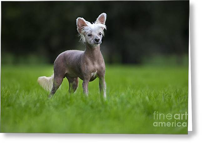 Breeds Greeting Cards - 111025p397 Greeting Card by Arterra Picture Library