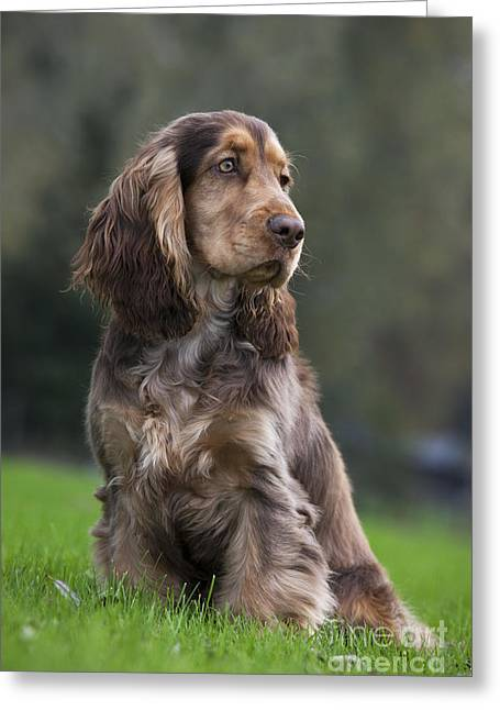 Spaniel Greeting Cards - 111230p045 Greeting Card by Arterra Picture Library