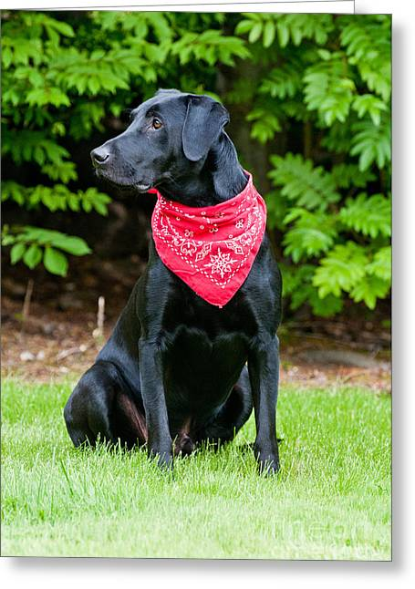 Dog Retrieving Greeting Cards - Black Labrador Retriever Greeting Card by William H. Mullins