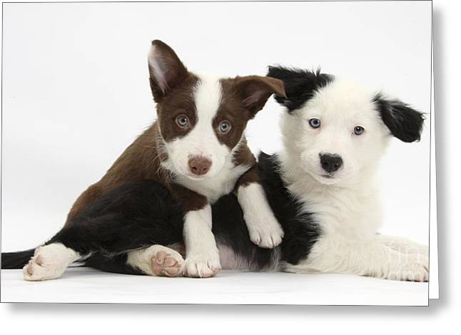 Collie Greeting Cards - Border Collie Puppies Greeting Card by Mark Taylor