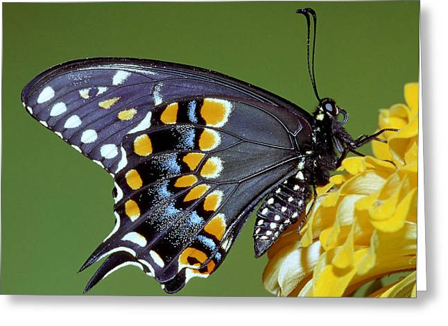 Florida Flowers Greeting Cards - Eastern Black Swallowtail Butterfly Greeting Card by Millard H Sharp
