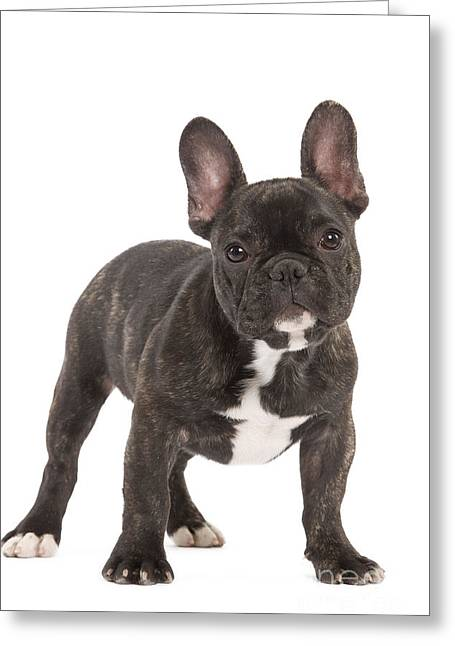 Canid Greeting Cards - French Bulldog Greeting Card by Jean-Michel Labat