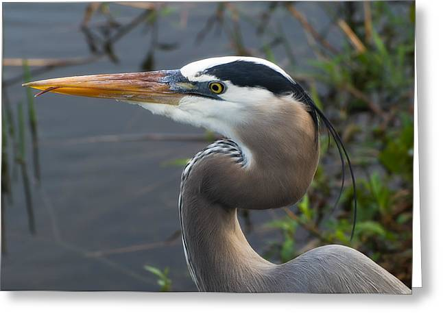 Ardea Greeting Cards - Great Blue Heron Greeting Card by Rich Leighton