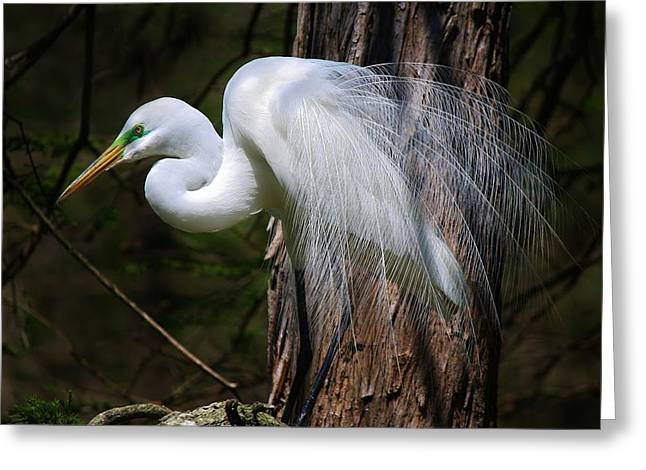 Paulette Thomas Greeting Cards - Great White Egret Greeting Card by Paulette Thomas