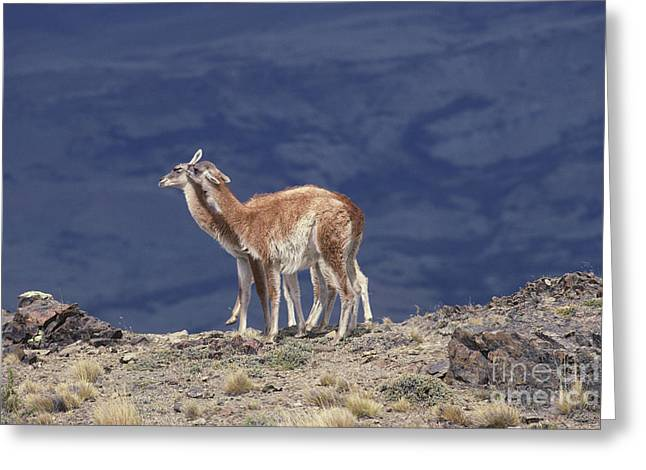 Love The Animal Greeting Cards - Guanaco Lama Guanicoe Greeting Card by Art Wolfe