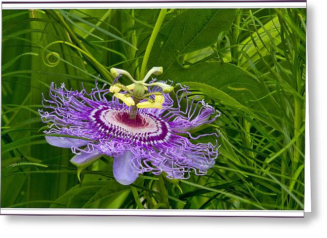 Passionfruit Greeting Cards - Passion Flower Greeting Card by Geraldine Scull