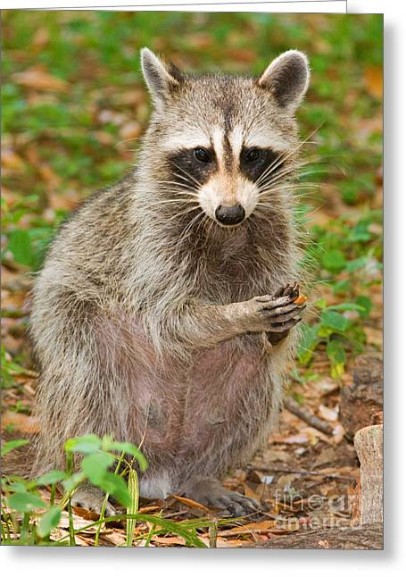 Duval County Greeting Cards - Raccoon Greeting Card by Millard H. Sharp